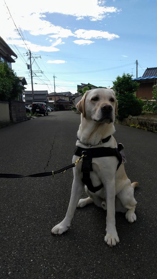 ラブラドール犬のナイロンハーネス